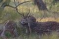 Spotted deer stags stick together.jpg