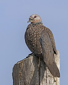 Spotted dove (Spilopelia chinensis suratensis).jpg