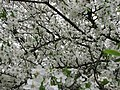 Spring 2008 - Cluj-Napoca (2408353598).jpg