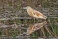 Squacco heron (Ardeola ralloides ralloides) Jordan.jpg