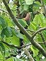 Squirrel Cuckoo (40030639094).jpg