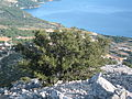 Stablo na Vižanici 1205.jpg