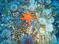 Starfish, brittle stars and urchins at Middelmas PA208671.JPG