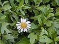 Starr-020108-0004-Erigeron karvinskianus-flower and leaves-Makawao near cemetery-Maui (24250493880).jpg