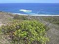 Starr-031127-0101-Schinus terebinthifolius-habit-Waihee Pt-Maui (24380747920).jpg