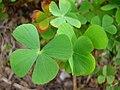 Starr-050407-6292-Marsilea villosa-habit-Maui Nui Botanical Garden-Maui (24118208303).jpg
