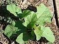 Starr-070215-4489-Solanum torvum-seedlings-Old macadamia nut orchards Waiehu-Maui (24882357335).jpg