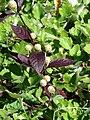 Starr-080219-2898-Alternanthera brasiliana-leaves and flowerheads-Enchanting Floral Gardens of Kula-Maui (24878369526).jpg