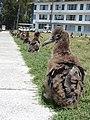 Starr-080531-4834-Cynodon dactylon-habit with Laysan albatross chicks-Bravo barracks Sand Island-Midway Atoll (24817468561).jpg