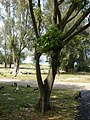 Starr-080531-4986-Ficus benjamina-trunk-4208 Commodore Ave Sand Island-Midway Atoll (24911056105).jpg
