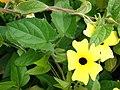 Starr-080716-9362-Thunbergia alata-cv Sundance yellow flowers-Enchanting Gardens of Kula-Maui (24830729191).jpg