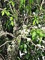 Starr-090610-0444-Syzygium malaccense-white flowers-Haiku-Maui (24668035450).jpg