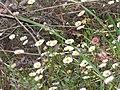 Starr-100401-4288-Erigeron karvinskianus-flowers-Polipoli-Maui (24731898290).jpg