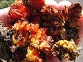 Starr-120403-4082-Aloe arborescens-flowers deformed by mites-Kula-Maui (24842746050).jpg