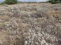 Starr-130422-4269-Encelia farinosa-habit filling area-Kahului-Maui (25092168272).jpg