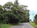 Starr-140222-0378-Trema orientalis-habit view road-Hana Hwy-Maui (25213952796).jpg