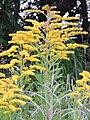 Starr-140930-2078-Solidago canadensis-flowers and leaves-Keokea-Maui (25128539632).jpg