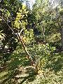 Starr-150112-3402-Citrus limonia-fruiting habit-Hawea Pl Olinda-Maui (24968846670).jpg
