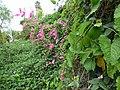 Starr-150811-0541-Antigonon leptopus-flowering habit-Enchanting Floral Gardens of Kula-Maui (24665044394).jpg