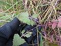 Starr-180312-0720-Sonchus oleraceus-leaves-Kahikinui-Maui (27366546288).jpg