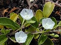 Starr 010209-0279 Jacquemontia ovalifolia subsp. sandwicensis