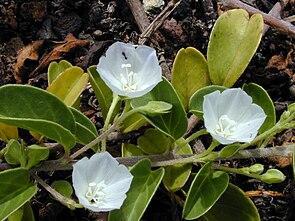 Jacquemontia ovalifolia subsp. sandwicensis