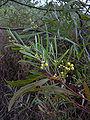 Starr 031114-0003 Acacia retinodes.jpg