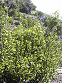 Starr 040131-0022 Alyxia oliviformis.jpg