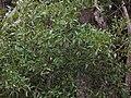 Starr 041221-1797 Acacia melanoxylon.jpg