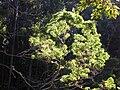 Starr 041226-2276 Acacia koa.jpg