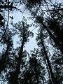 Starr 051123-5470 Eucalyptus globulus.jpg