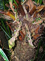 Starr 060905-8758 Cycas circinalis.jpg