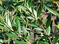 Starr 070111-3138 Olea europaea subsp. cuspidata.jpg