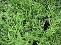 Starr 070906-8825 Lavandula angustifolia.jpg
