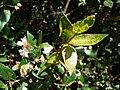 Starr 080304-3226 Myrtus communis.jpg
