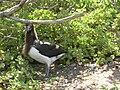 Starr 080603-9123 Solanum nelsonii.jpg