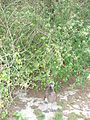 Starr 080610-8441 Abutilon grandifolium.jpg