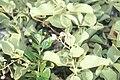 Starr 990412-0472 Solanum nelsonii.jpg