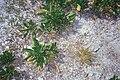Starr 990614-1009 Lepidium bidentatum var. o-waihiense.jpg