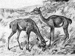 Een tekening van twee vroege kamelen