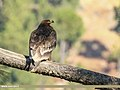 Steppe Eagle (Aquila nipalensis) (46923007351).jpg