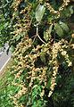 Sterculia guttata flowers.jpg