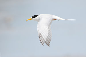 Little tern - Adult S. a. sinensis in breeding plumage, Australia