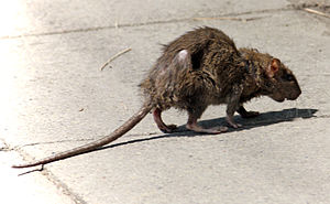 Rat - A rat in a city street