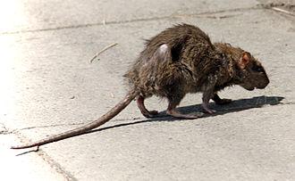Rat - A rat in a city street