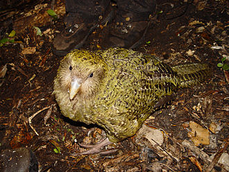 Kakapo - A year-old kakapo on Codfish Island.