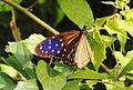 Striped Blue Crow Euploea mulciber Female by Dr. Raju Kasambe DSCN2424 (7).JPG