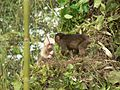 Stump tailed Macaque P1130751 22.jpg