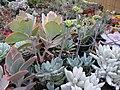 Succulents (6323549897).jpg