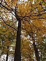 Sugar Maple in Ravine.jpg